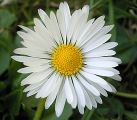 the English daisy, Bellis perennis